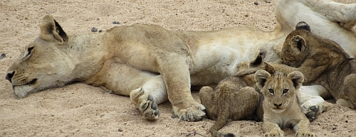 Lion feeding cubs