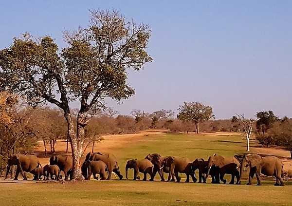 Elephants on Skukuza Golf Club course