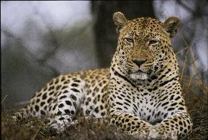 Leopard in the Sabi Sand area