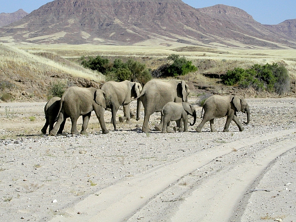Skeleton Coast Safari desert adapted elephants