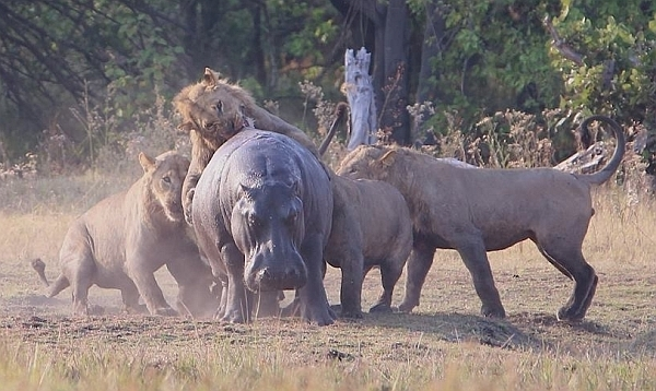 Lions take on hippo