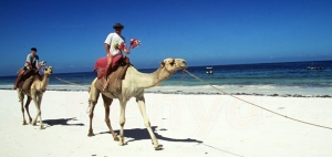 Camel rides on the beach in Mombasa