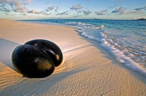 The famous Coco de Mer washed up on faraway beaches long before Seychelles was first discovered