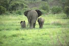 Kruger National Park Elephants