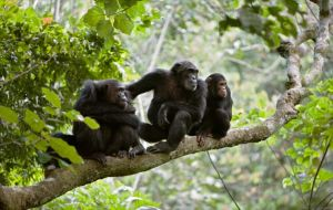 Mahale Mountains National Park - Chimpanzee