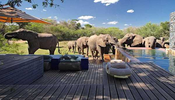 andBeyond Phinda Homestead Villa elephants drinking out private pool