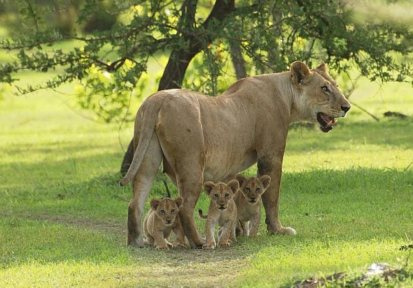 Azura Selous lioness and cubs