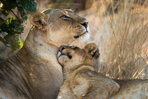 Lioness with cub - on safari in Zambia
