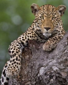 The Sabi Sand Game Reserve is reknown for it's leopards sightings