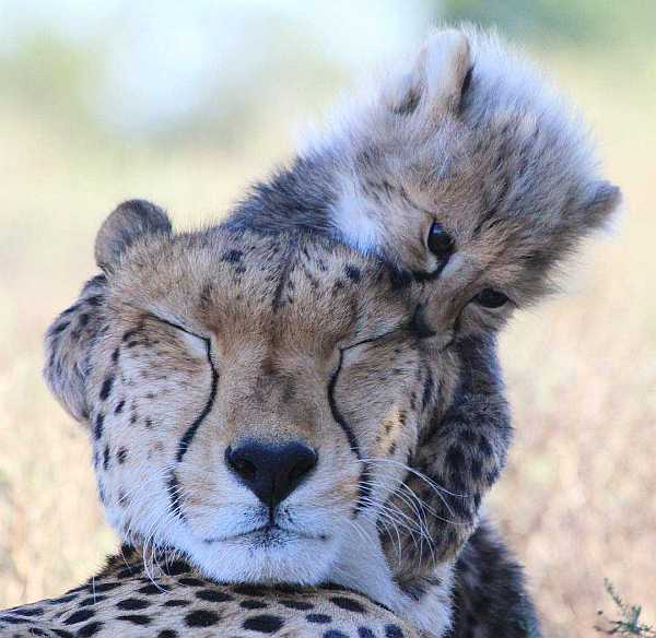 Cheetah cub biting mum