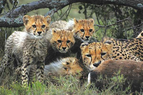 Samara Private Game Reserve cheetah cubs