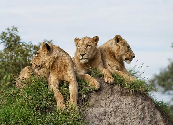 Singita Lebombo Lodge Kruger National Park lions on safari