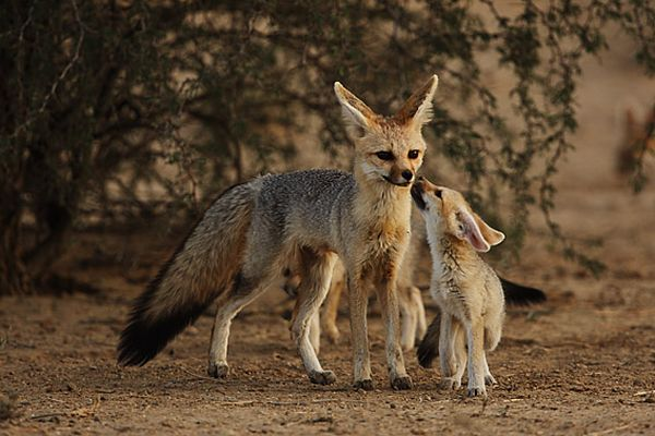 Cape Fox Mom and Pup