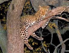 Little Makalolo - leopard in tree